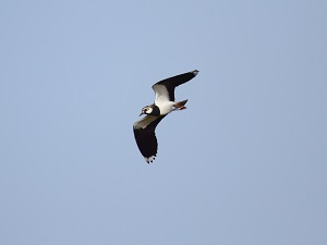 Photo 3 - Lapwing - Farmland